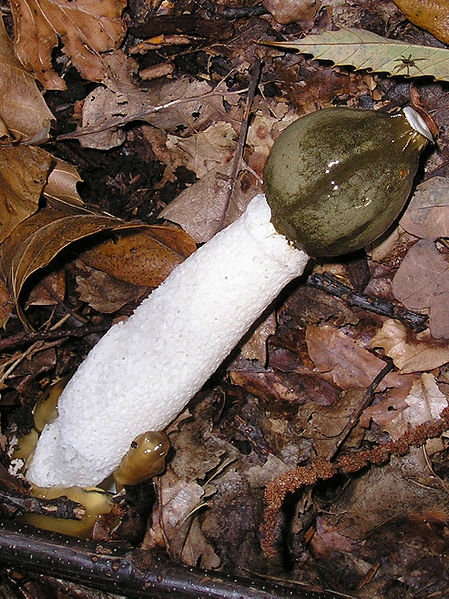 File:Phallus impudicus7 Stinkhorn.jpg