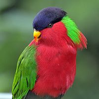 Phigys solitarius -San Diego Zoo -9