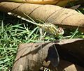 Philippine Green Hunter Dragonfly (Gomphidae).jpg