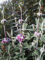 Phlomis purpurea.jpg