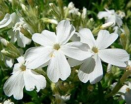 Phlox subulata 6.jpg