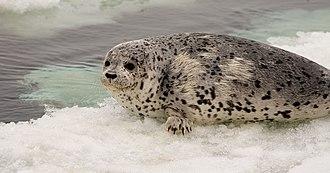 Phoca - Image: Phoca largha Bering Sea 2