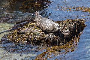 Point Lobos - A Harbor Seal