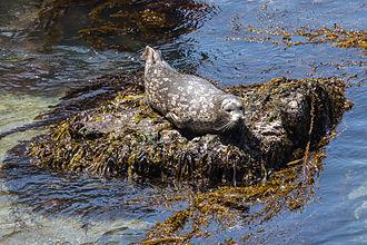 Point Lobos - A Harbor Seal