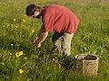 Picking of heads of Arnica montana.JPG