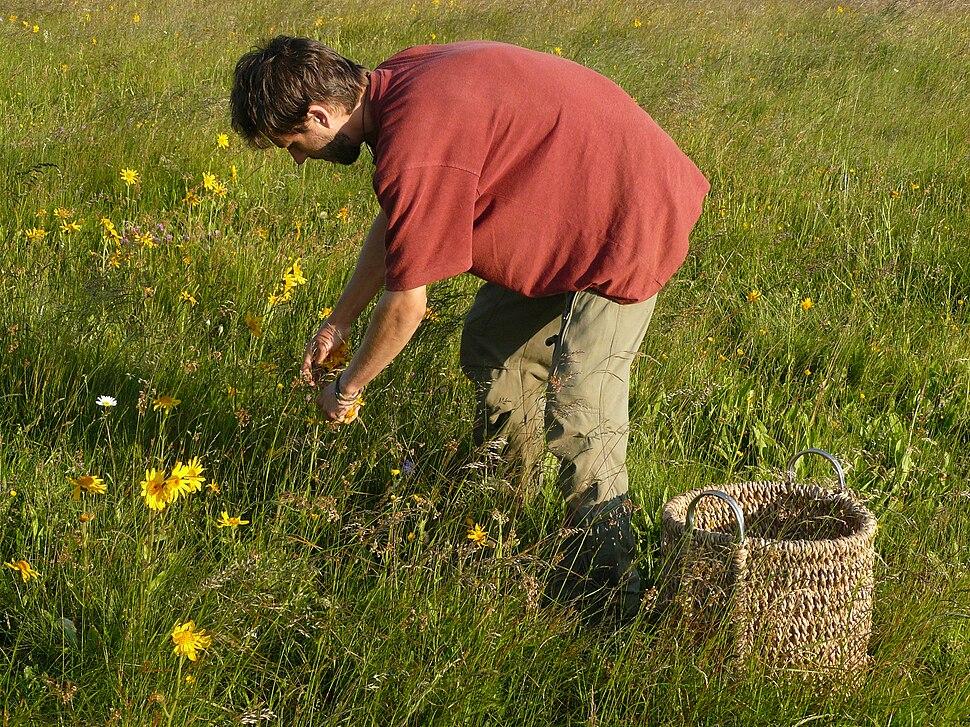 Picking of heads of Arnica montana