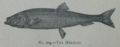 Picture Natural History - No 204 - The Herring.png