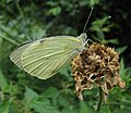 Pieris brassicae closed wings.jpg