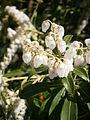 Pieris japonica 02.JPG