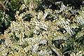 Pieris japonica Purity 0zz.jpg