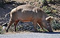 Pig of Corsica 001.jpg