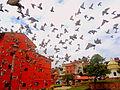 Pigeon flying Peace Nepal.JPG