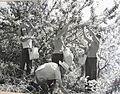 PikiWiki Israel 13730 Apple Picking in the Kibbutz Orchard.jpg