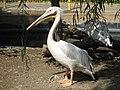 PikiWiki Israel 33165 Pelican in Zoo-Botanical Garden Nahariya.JPG