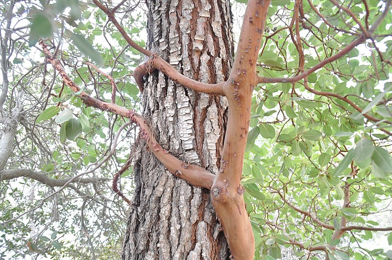 עץ קטלב ועץ אורן
