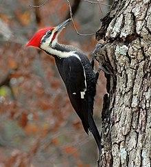 pileated woodpecker wikipedia