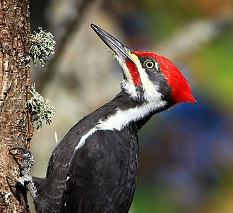 Temperate deciduous forest - Pileated woodpeckers depend upon wood-boring beetles or beetle larvae as a source of food and use dead or dying trees as nests.