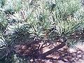 Pine Leaf.jpg