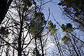 Pine tree forest.jpg