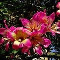 Pink blossom - Flickr - Stiller Beobachter (1).jpg