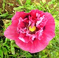 Pink poppy on Ponta do Pargo cliff - Apr 2013.jpg