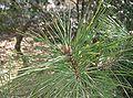 Pinus densiflora2.jpg