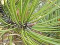 Pinus nigra (1111) 08.JPG