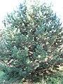 Pinus nigra laricio 01 by Line1.JPG