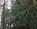 Pinus peuce foliage1.jpg