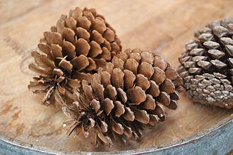 Pinus pinaster - Image: Pinus pinaster decoration cones