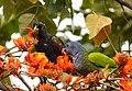 Pionus chalcopterus (Cotorra maicera) - Flickr - Alejandro Bayer.jpg
