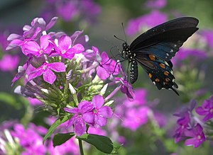 English: Pipevine Swallowtail (Battus philenor...