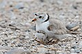 Piping plover hiding chick west meadow (26854777833).jpg