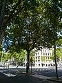 Plàtan de la plaça Universitat P1510813.jpg