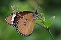 Plain Tiger Butterfly - Danaus chrysippus - வெந்தய வரியன்.jpg
