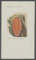 Planaria aurantiaca - - Print - Iconographia Zoologica - Special Collections University of Amsterdam - UBAINV0274 105 09 0010.tif