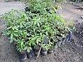 Plant Seedling Bombax ceiba DSCN8784.jpg