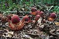 Planta parasita de raiz, Langsdorffia hypogaea.jpg