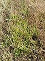 Plantago coronopus sl52.jpg