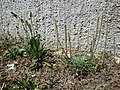 Plantago lanceolata + Plantago coronopus sl1.jpg