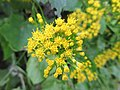 Plante grimpante inconnue à fleur jaune 2.jpg