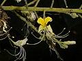 Plants Aesculus assamica P1090997 06.jpg