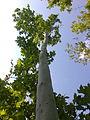 Platanus tree.jpg