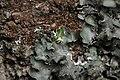 Pleurosticta acetabulum (40382224334).jpg