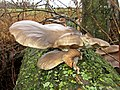 Pleurotus ostreatus (Pleurotaceae), Elst (Gld), the Netherlands.jpg