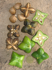 http://upload.wikimedia.org/wikipedia/commons/thumb/1/12/Plukenetia_volubilis_%28Sacha_Inchi%29_Euphorbiaceae_Peru.png/180px-Plukenetia_volubilis_%28Sacha_Inchi%29_Euphorbiaceae_Peru.png