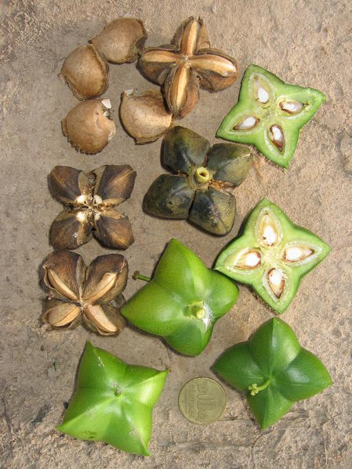 sacha inchi Plukenetia volubilis (Euphorbiaceae),
