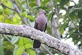 Plumbeous Pigeon (Patagioenas plumbea) (8079745172).jpg