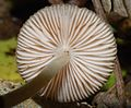Pluteus readiarum 63175.jpg