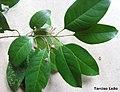 Pogonophora schomburgkiana, cocão - Flickr - Tarciso Leão (9).jpg